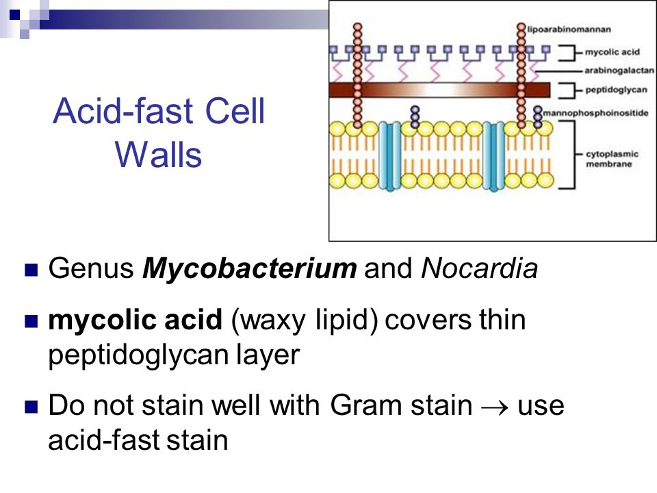 Acid-fast Cell Walls Genus Mycobacterium and Nocardia