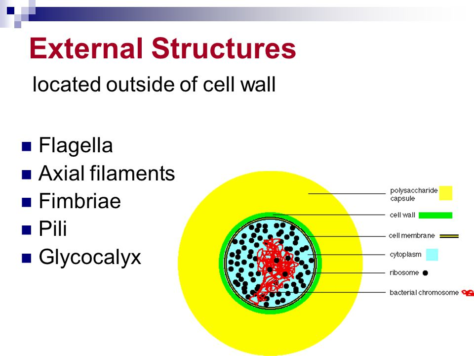 External Structures located outside of cell wall Flagella