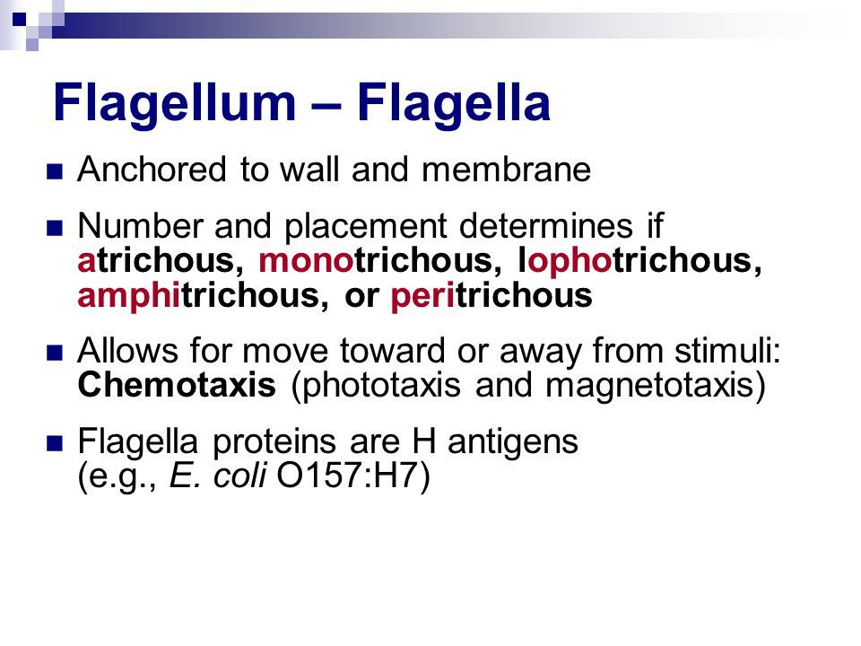 Flagellum – Flagella Anchored to wall and membrane