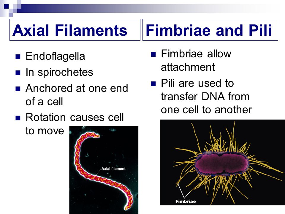 Axial Filaments Fimbriae and Pili Fimbriae allow attachment