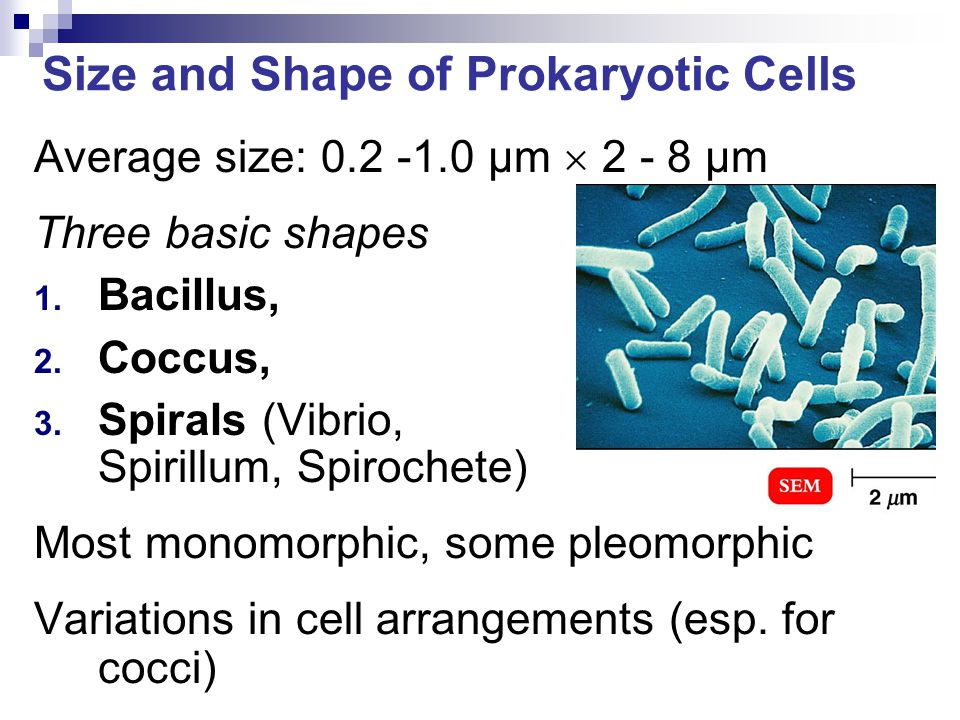 Size and Shape of Prokaryotic Cells