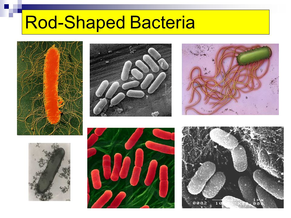 Rod-Shaped Bacteria