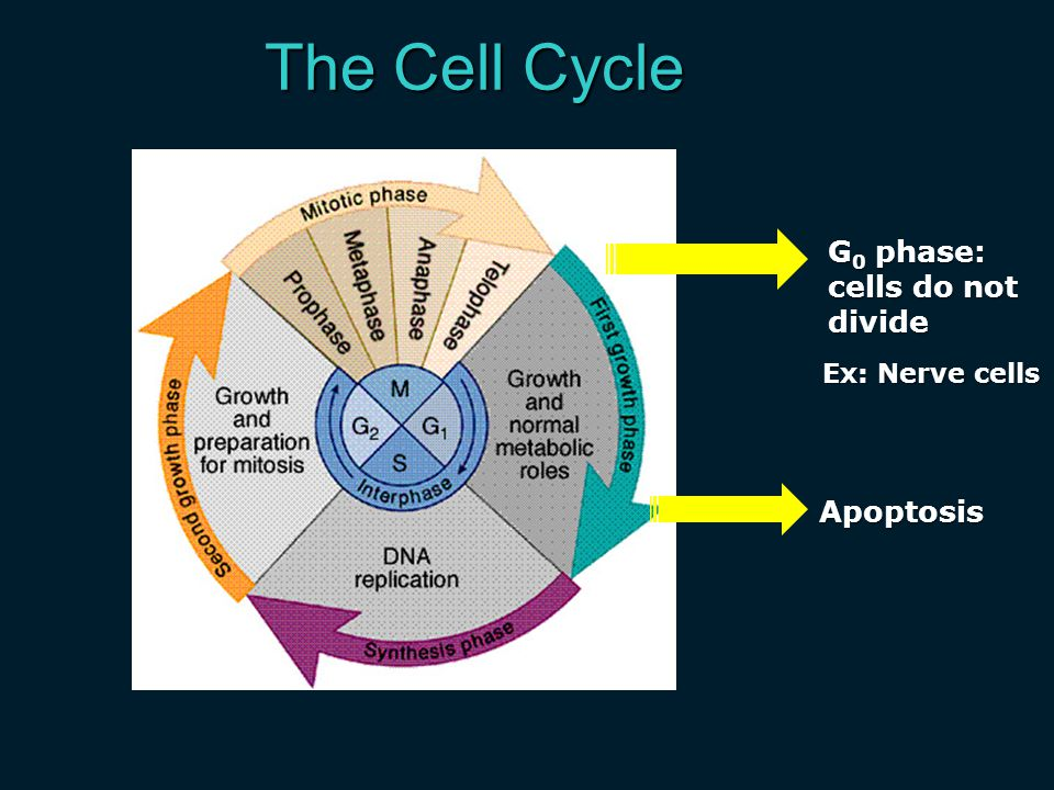 The Cell Cycle G0 phase: cells do not divide Ex: Nerve cells Apoptosis