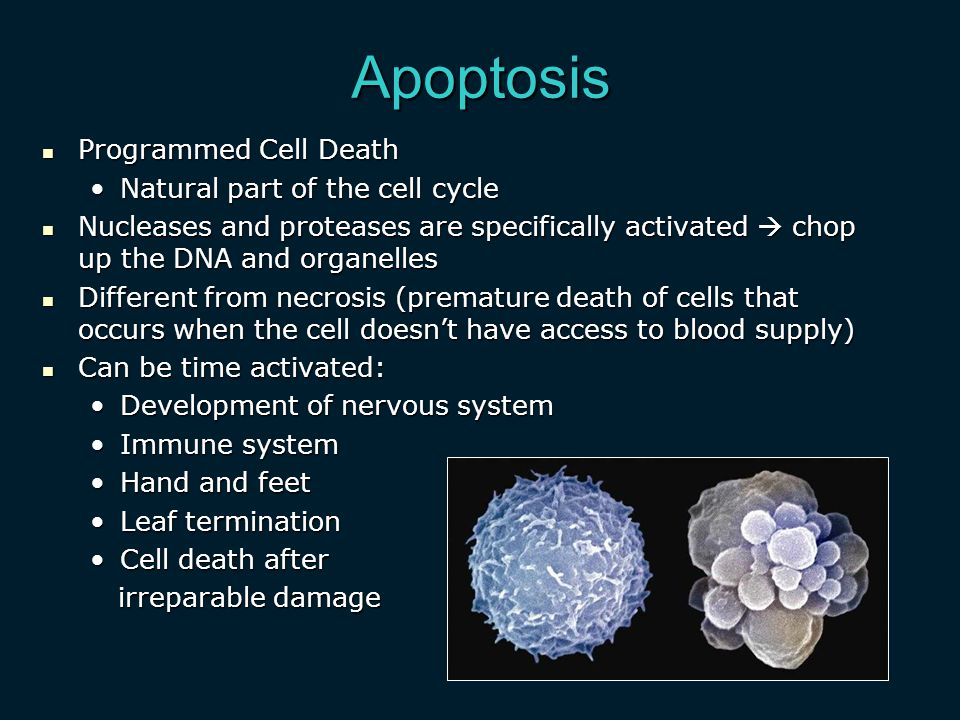 Apoptosis Programmed Cell Death Natural part of the cell cycle
