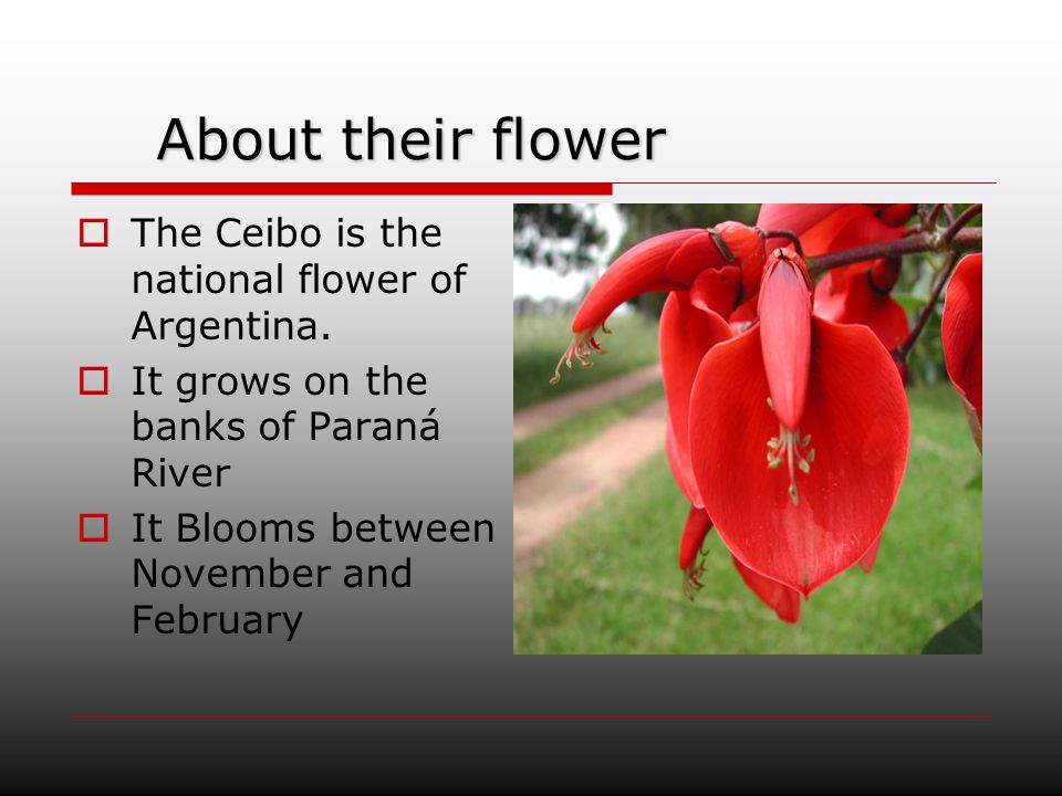 About their flower The Ceibo is the national flower of Argentina.