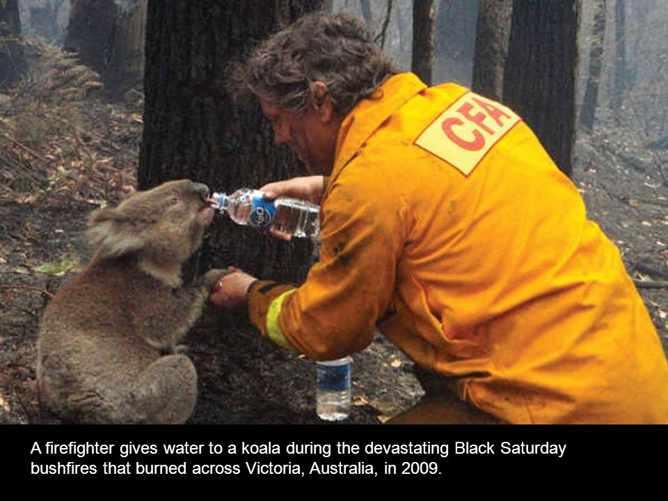 A firefighter gives water to a koala during the devastating Black Saturday bushfires that burned across Victoria, Australia, in 2009.