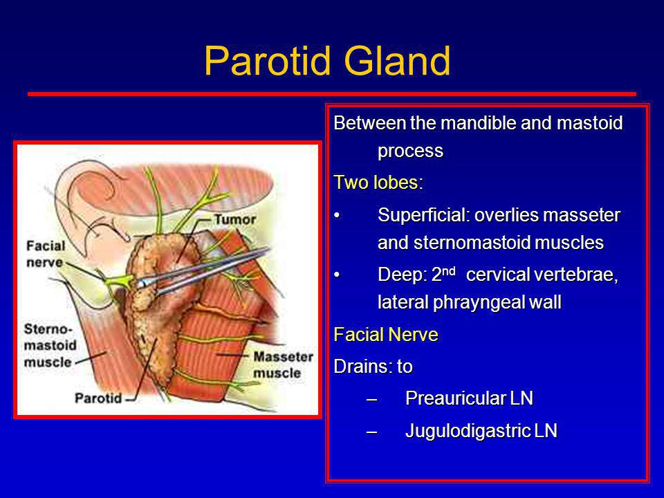 Parotid Gland Between the mandible and mastoid process Two lobes: