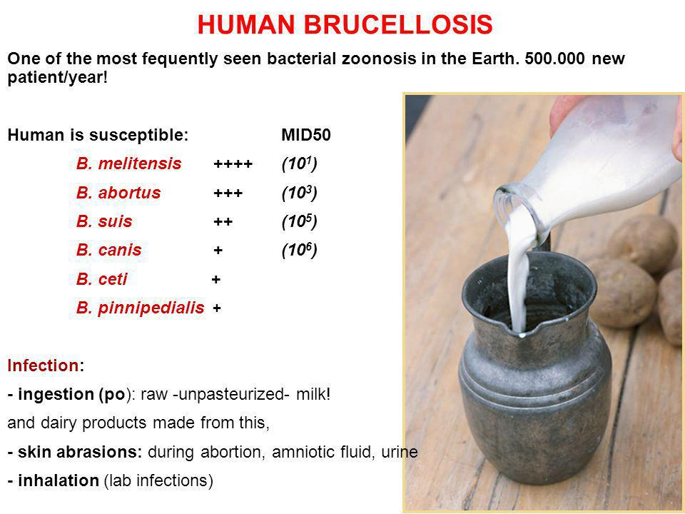 HUMAN BRUCELLOSIS One of the most fequently seen bacterial zoonosis in the Earth. 500.000 new patient/year!