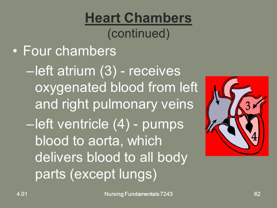 Heart Chambers (continued)