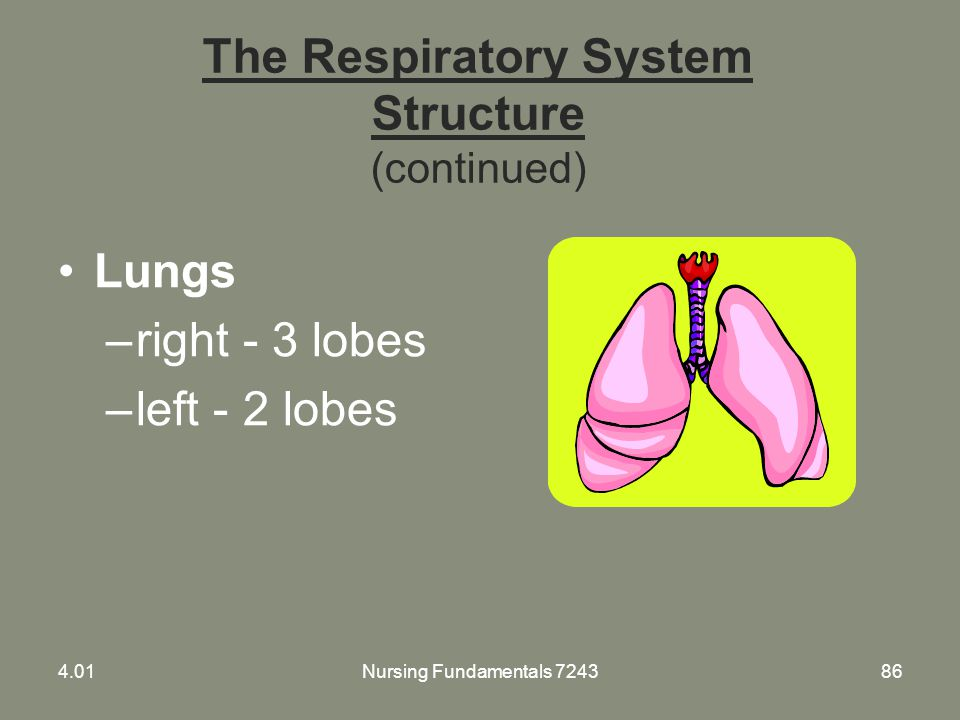 The Respiratory System Structure (continued)