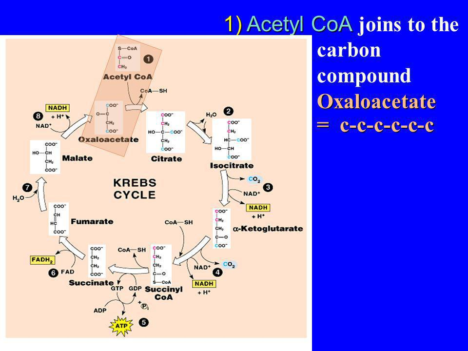 Acetyl CoA joins to the 4 carbon compound Oxaloacetate