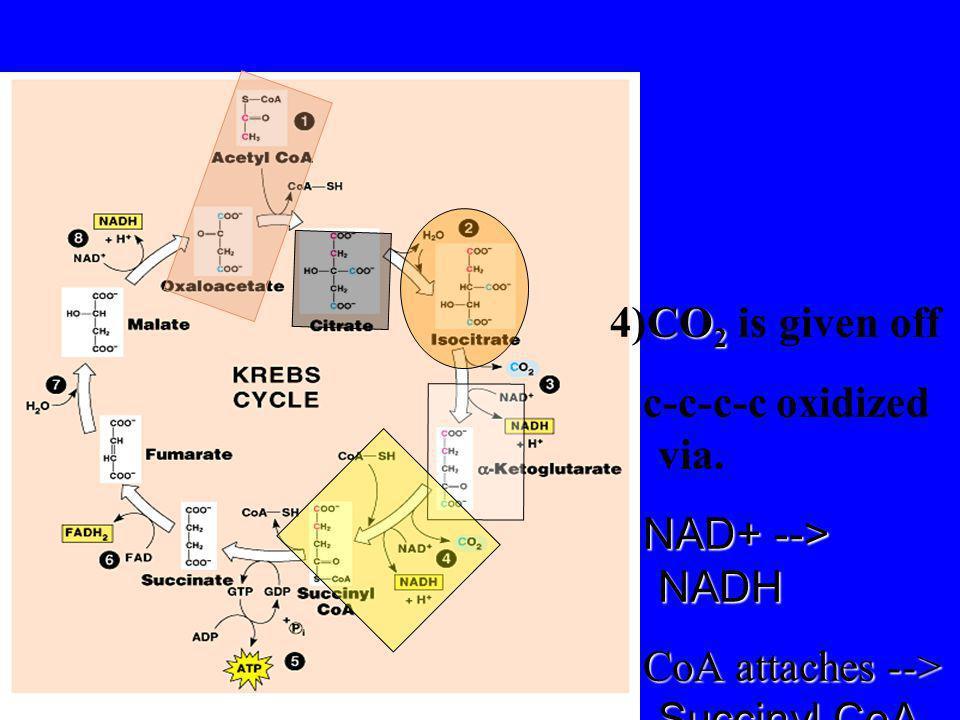 4)CO2 is given off c-c-c-c oxidized via. NAD+ --> NADH CoA attaches --> Succinyl CoA