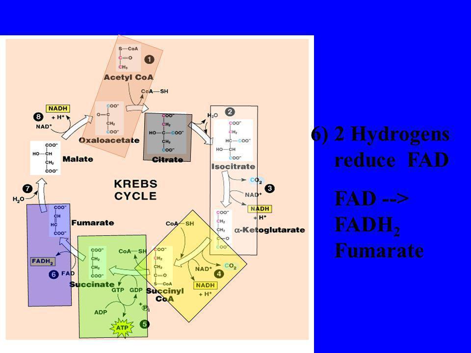 6) 2 Hydrogens reduce FAD FAD --> FADH2 Fumarate