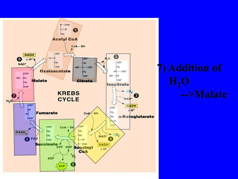 7) Addition of H2O -->Malate