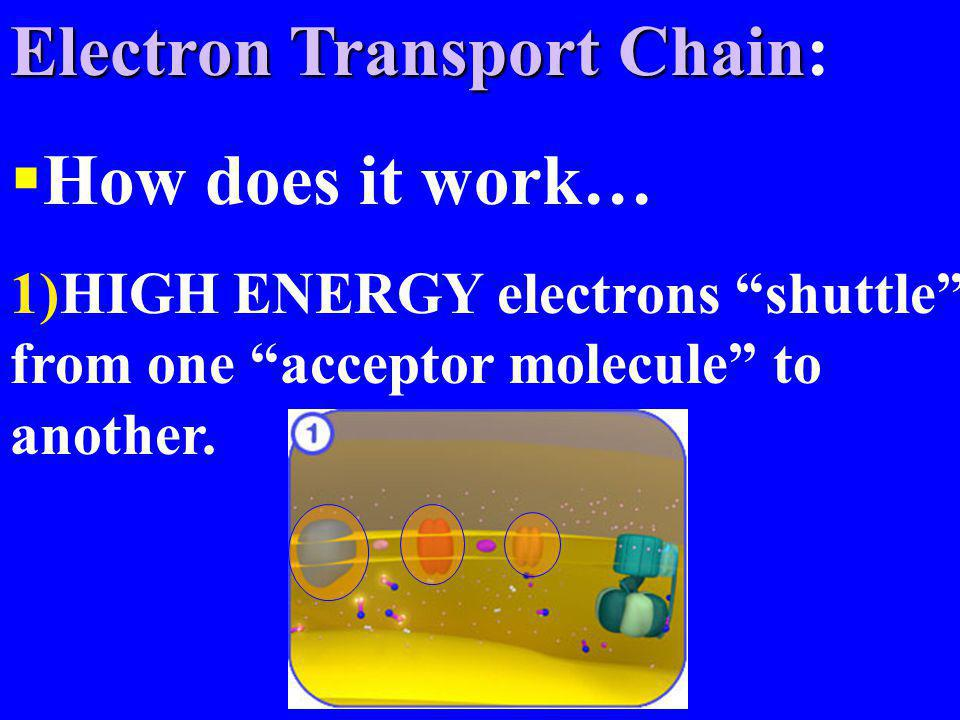 Electron Transport Chain: How does it work…