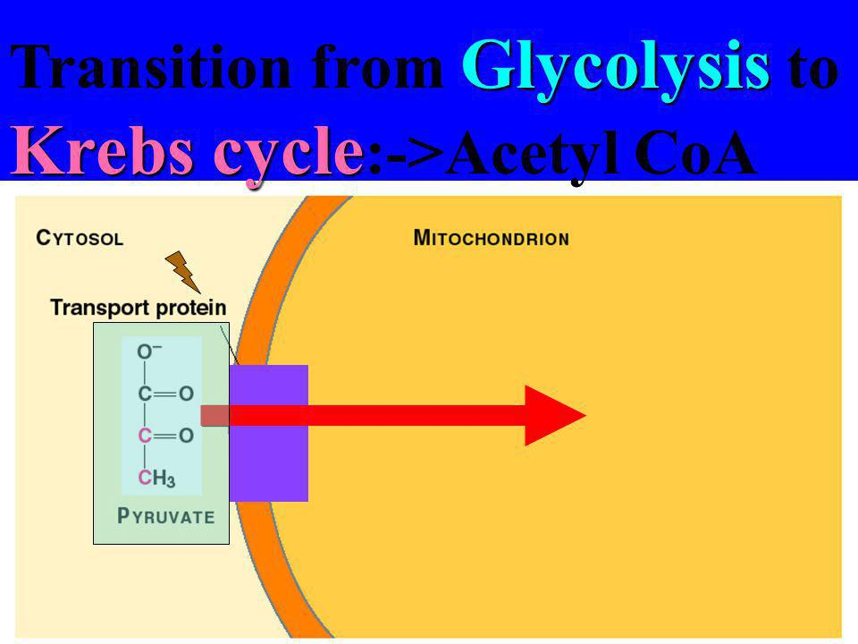Transition from Glycolysis to Krebs cycle:->Acetyl CoA