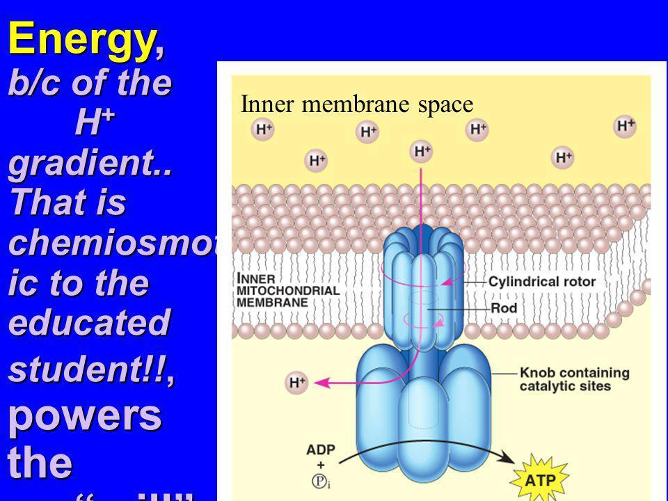 Energy, b/c of the. H+ gradient