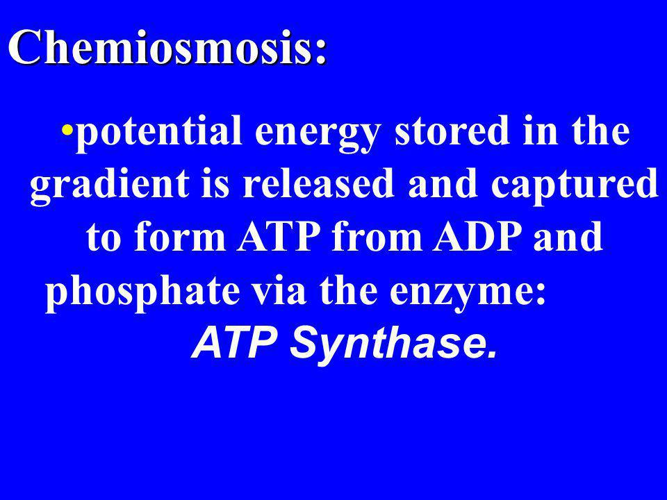 Chemiosmosis: potential energy stored in the gradient is released and captured to form ATP from ADP and phosphate via the enzyme: ATP Synthase.