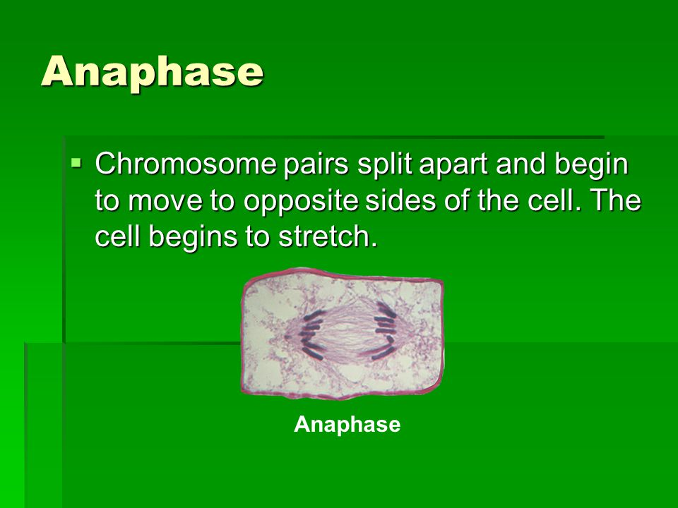 Anaphase Chromosome pairs split apart and begin to move to opposite sides of the cell. The cell begins to stretch.