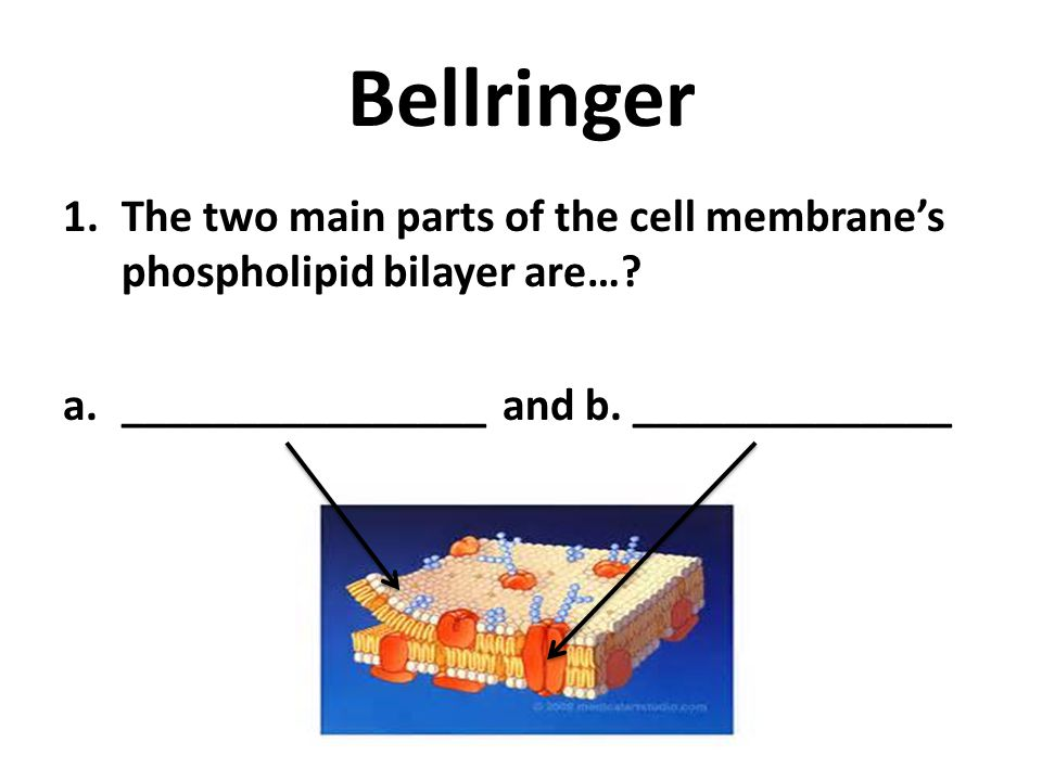 Bellringer The two main parts of the cell membrane's phospholipid bilayer are….