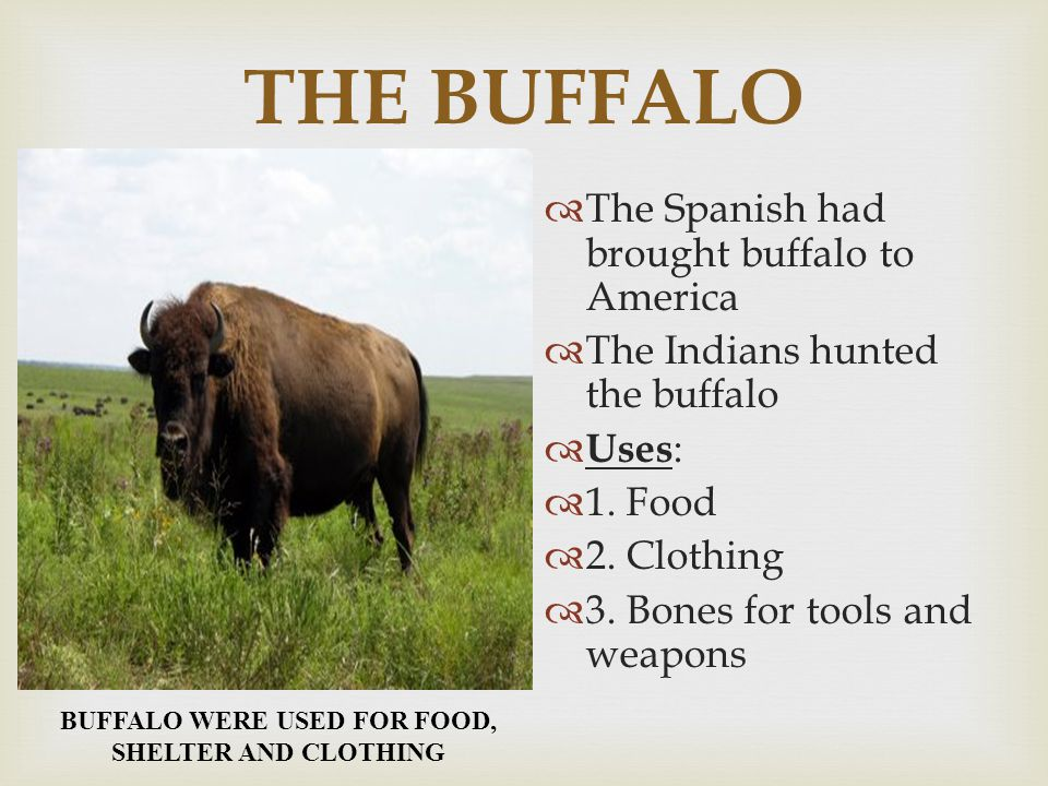 BUFFALO WERE USED FOR FOOD, SHELTER AND CLOTHING