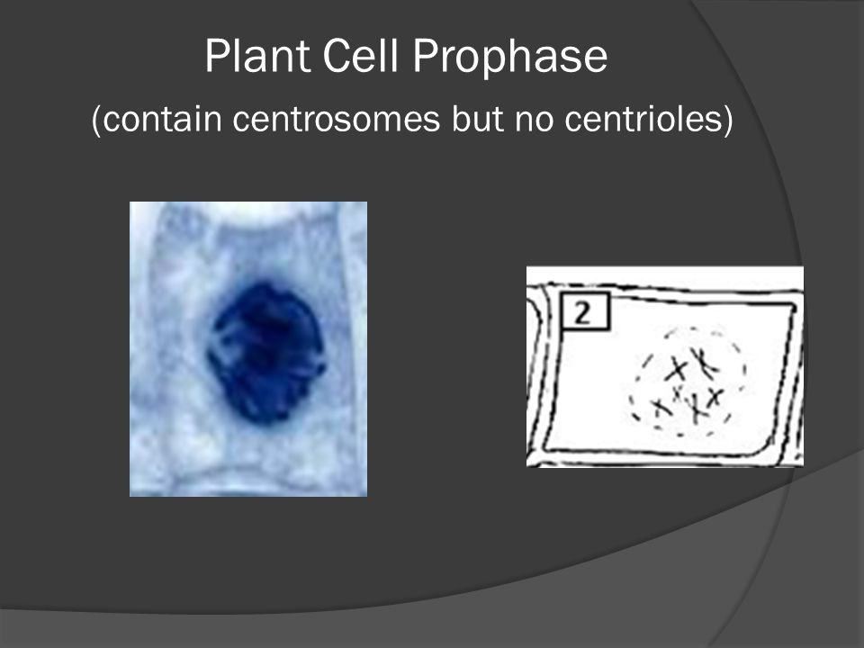 Plant Cell Prophase (contain centrosomes but no centrioles)