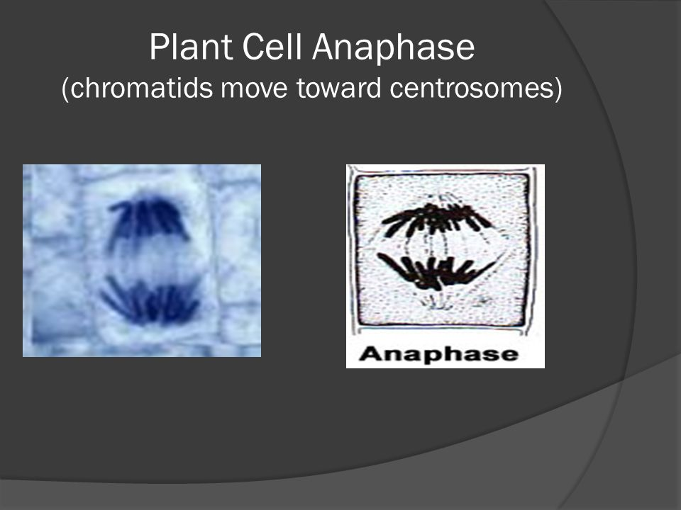 Plant Cell Anaphase (chromatids move toward centrosomes)