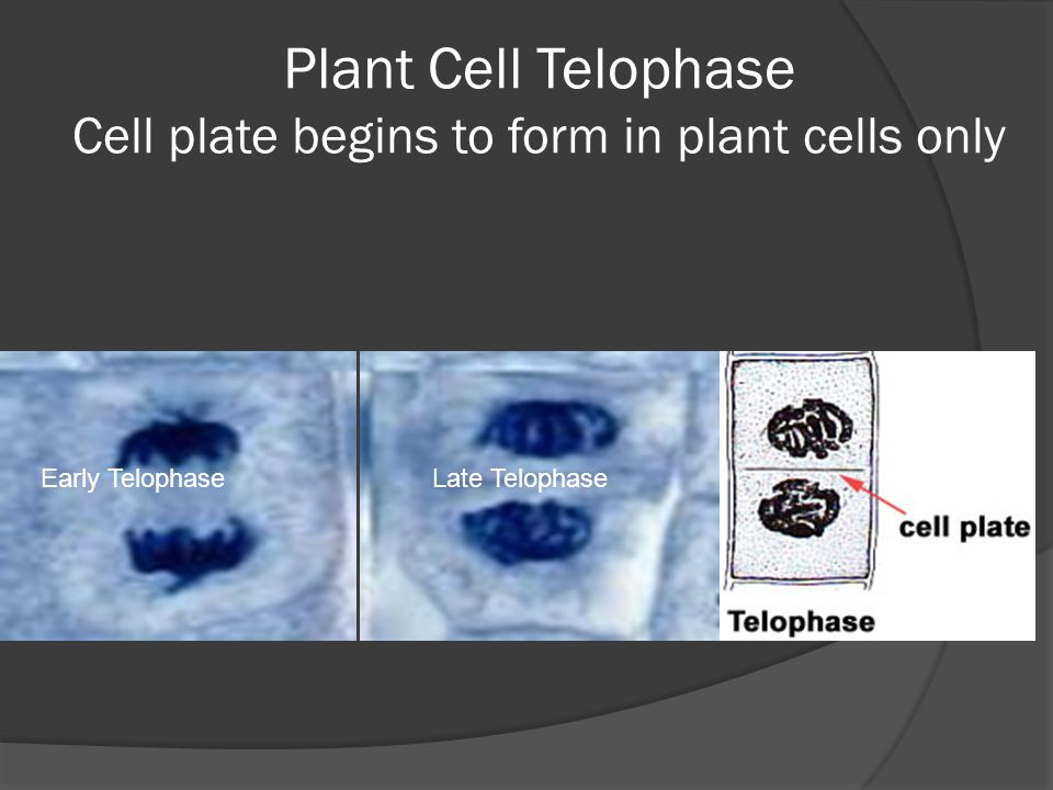 Plant Cell Telophase Cell plate begins to form in plant cells only