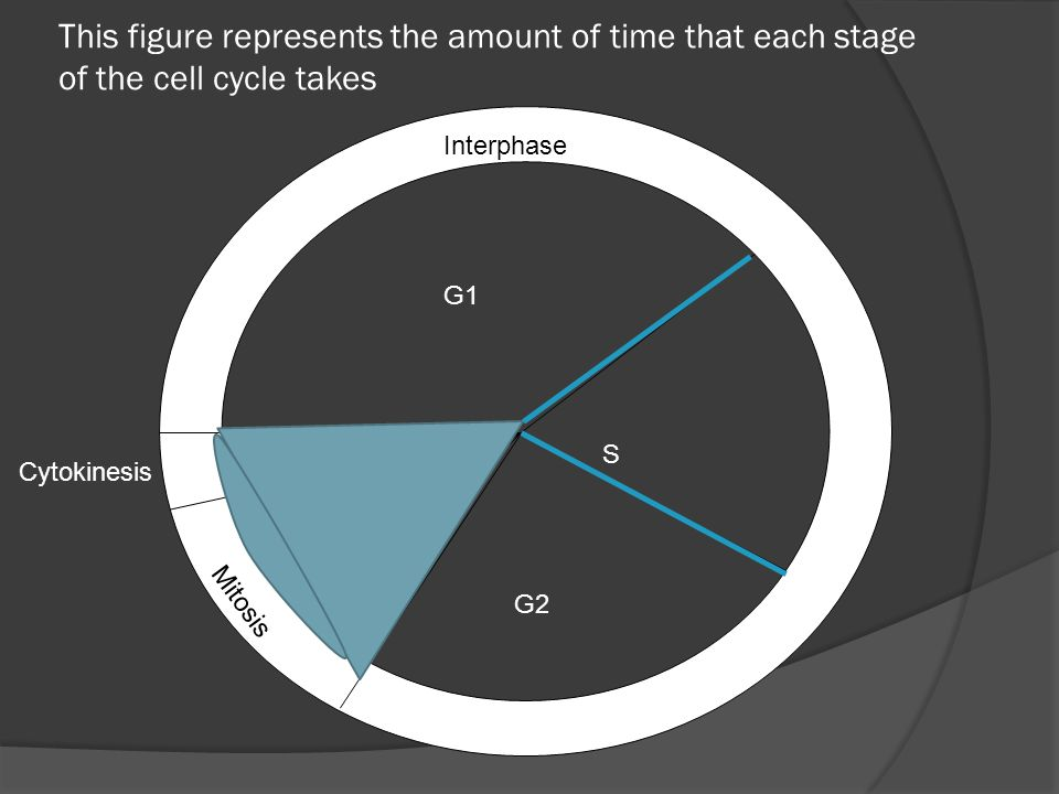 This figure represents the amount of time that each stage of the cell cycle takes