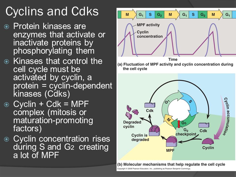 Cyclins and Cdks Protein kinases are enzymes that activate or inactivate proteins by phosphorylating them.