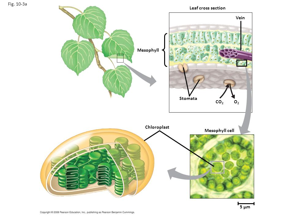 Fig. 10-3a Leaf cross section Vein Mesophyll Stomata CO2 O2
