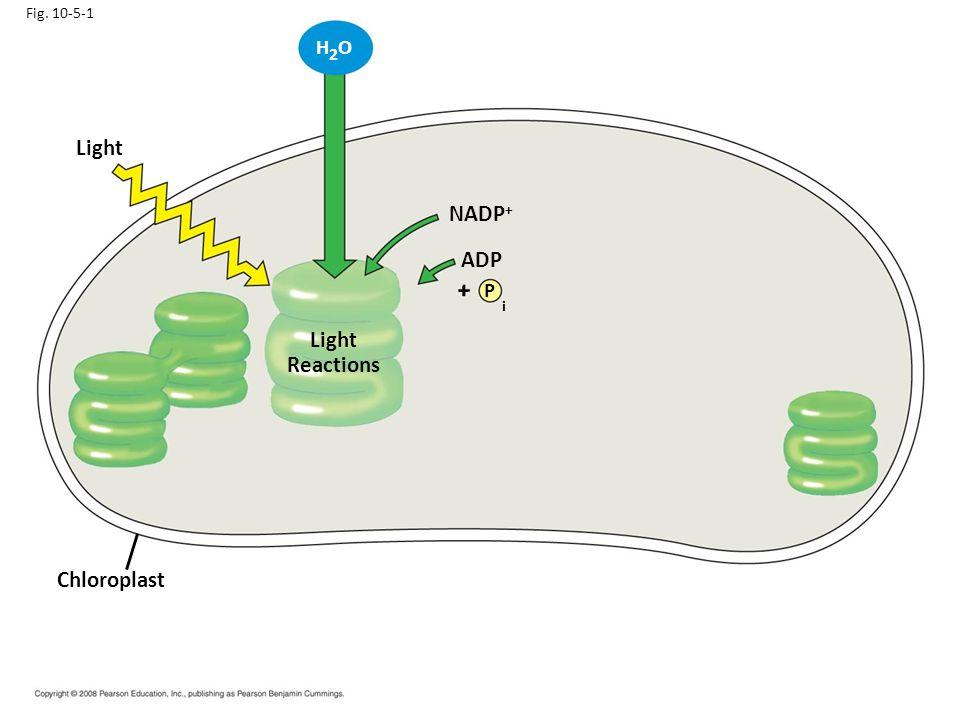i Light NADP+ ADP Light Reactions Chloroplast H2O + P Fig. 10-5-1