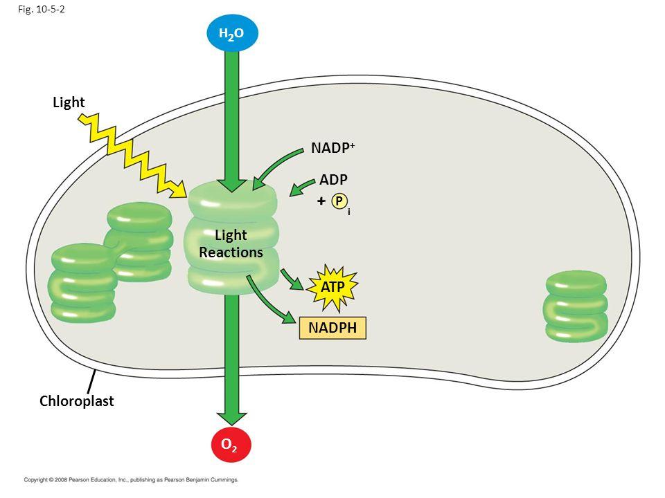 i Light NADP+ ADP Light Reactions ATP NADPH Chloroplast O2 H2O + P