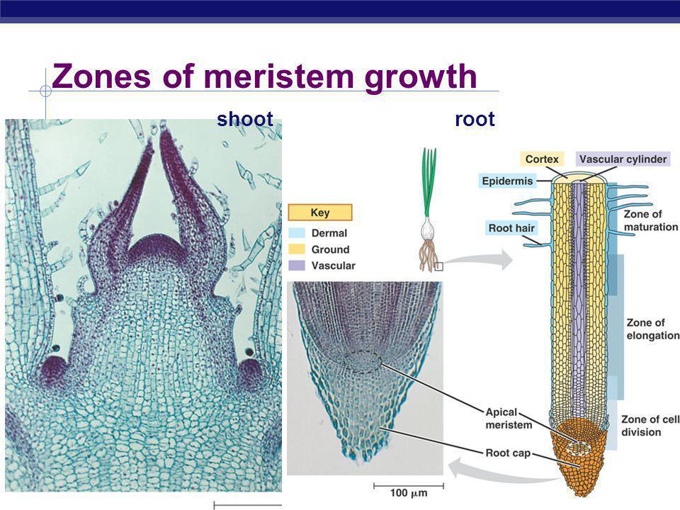 Zones of meristem growth