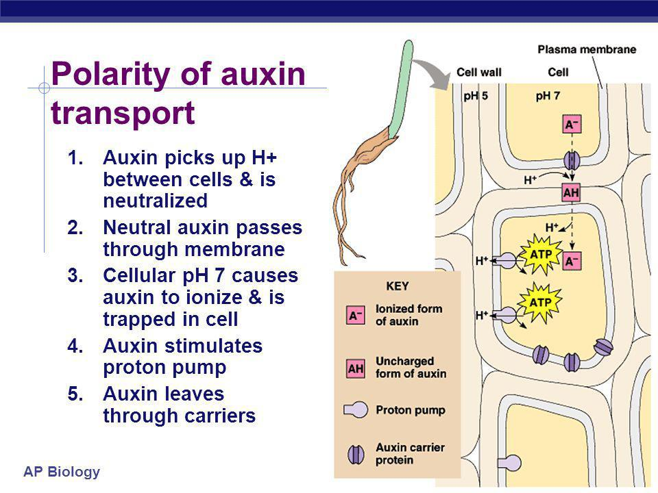 Polarity of auxin transport
