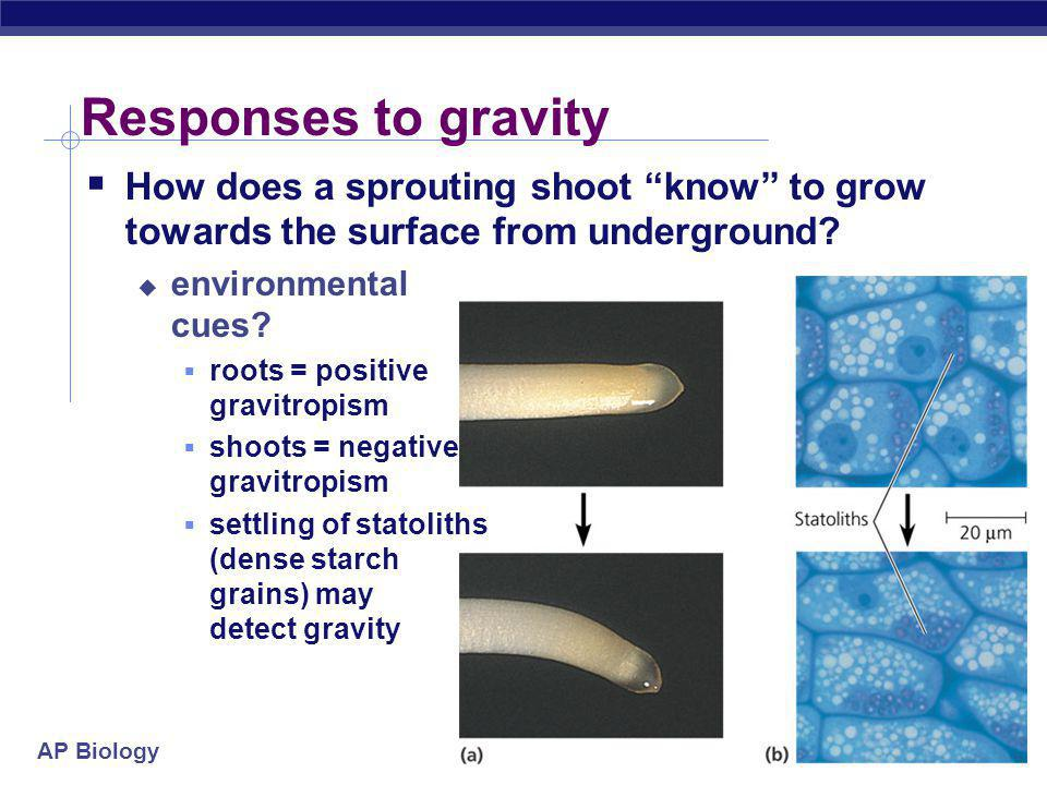 Responses to gravity How does a sprouting shoot know to grow towards the surface from underground