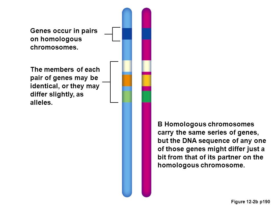 Genes occur in pairs on homologous chromosomes.