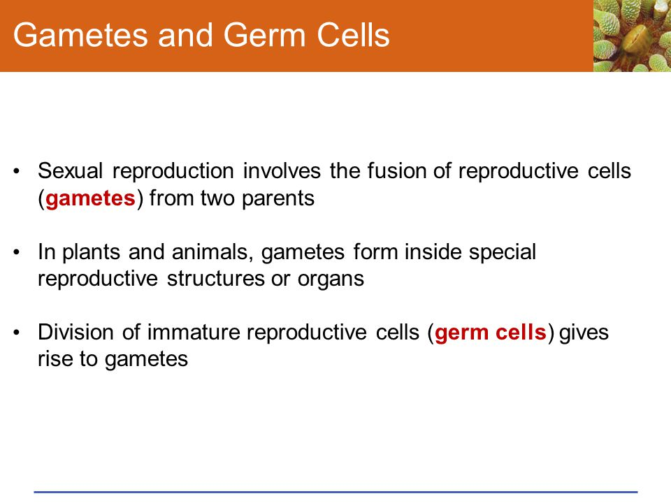 Gametes and Germ Cells Sexual reproduction involves the fusion of reproductive cells (gametes) from two parents.