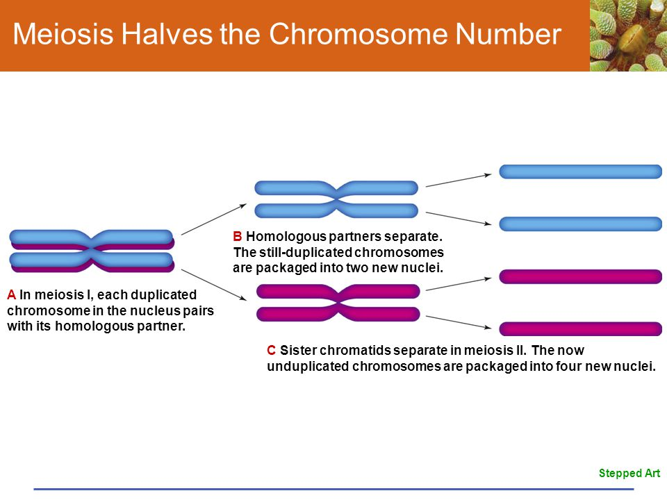 Meiosis Halves the Chromosome Number