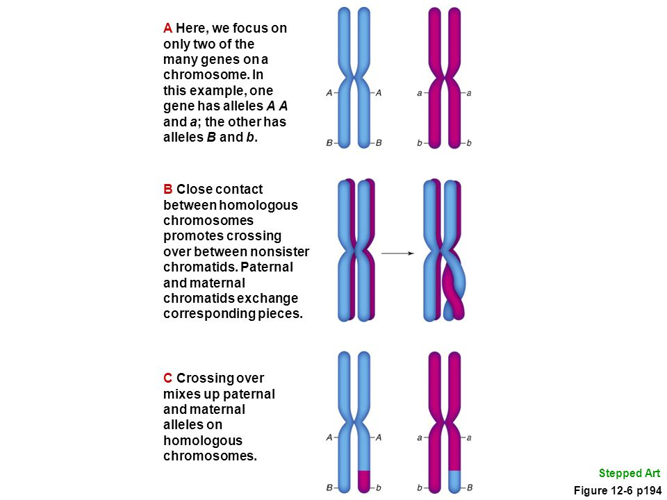 A Here, we focus on only two of the many genes on a chromosome