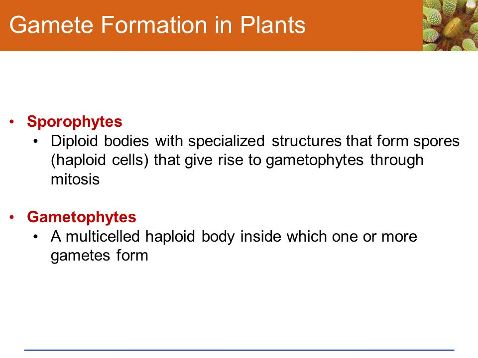 Gamete Formation in Plants