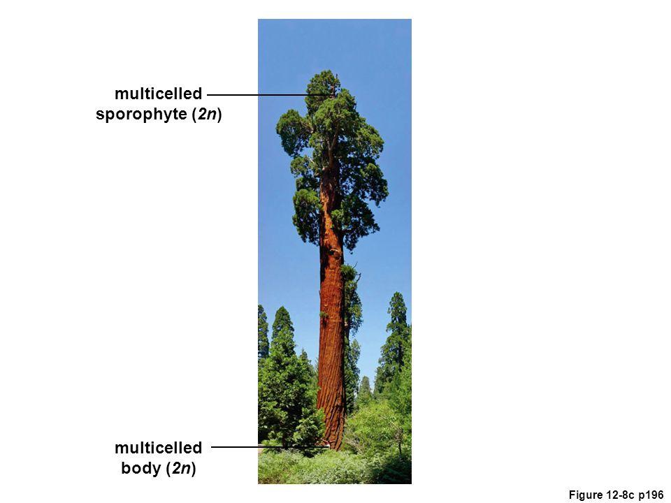 multicelled sporophyte (2n)