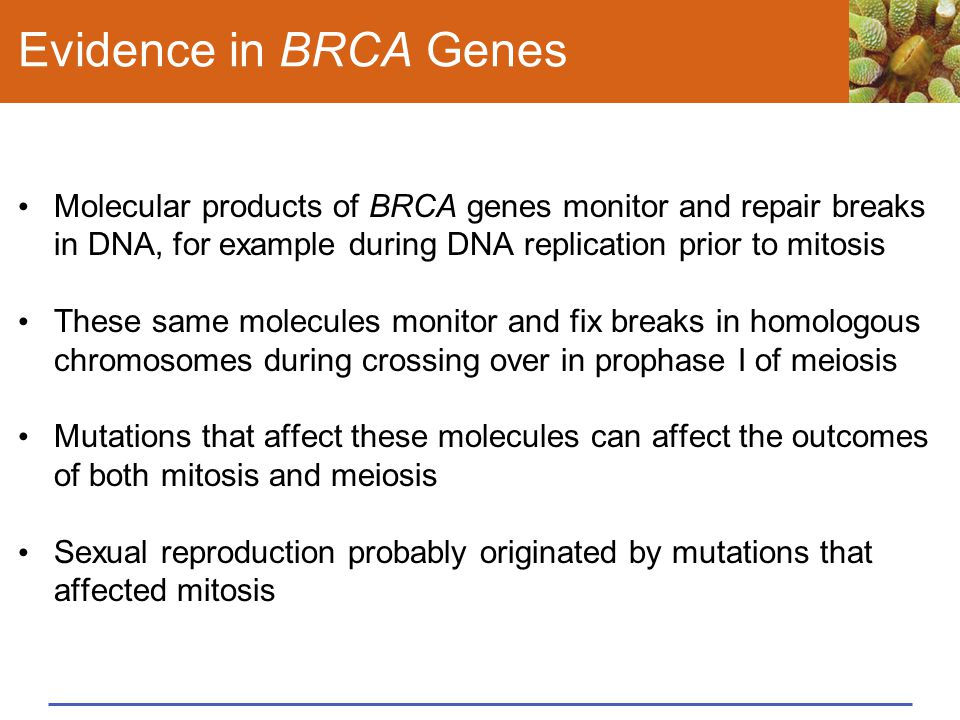 Evidence in BRCA Genes Molecular products of BRCA genes monitor and repair breaks in DNA, for example during DNA replication prior to mitosis.