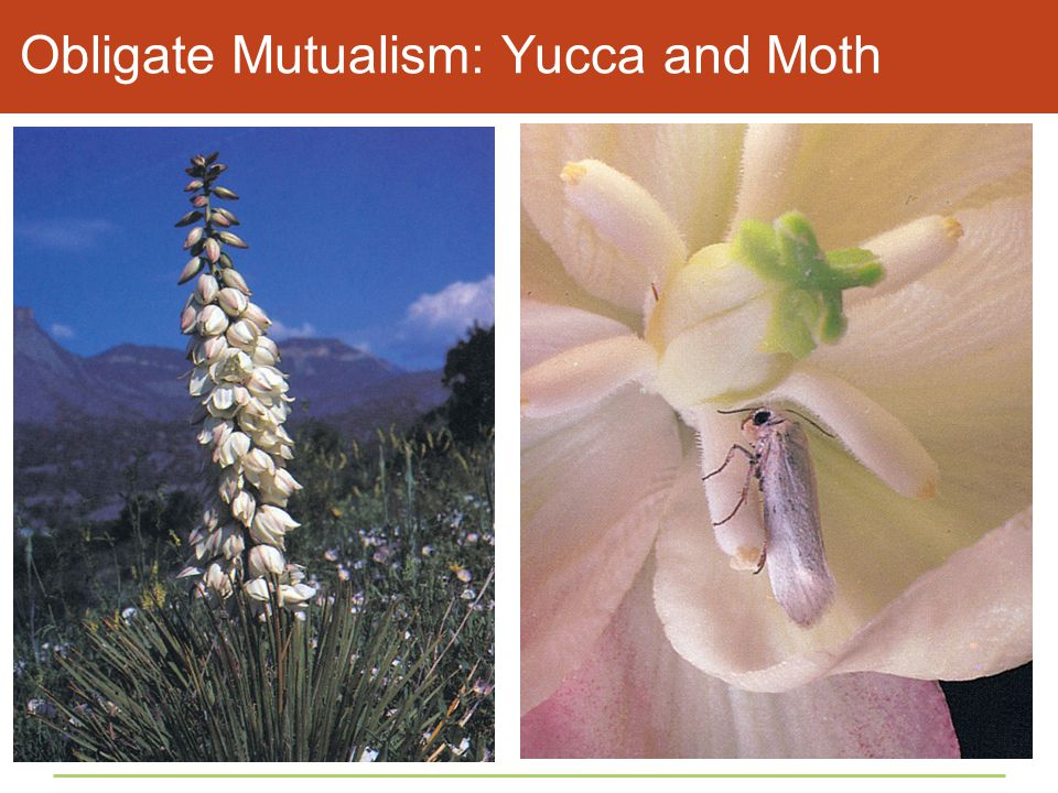 Obligate Mutualism: Yucca and Moth