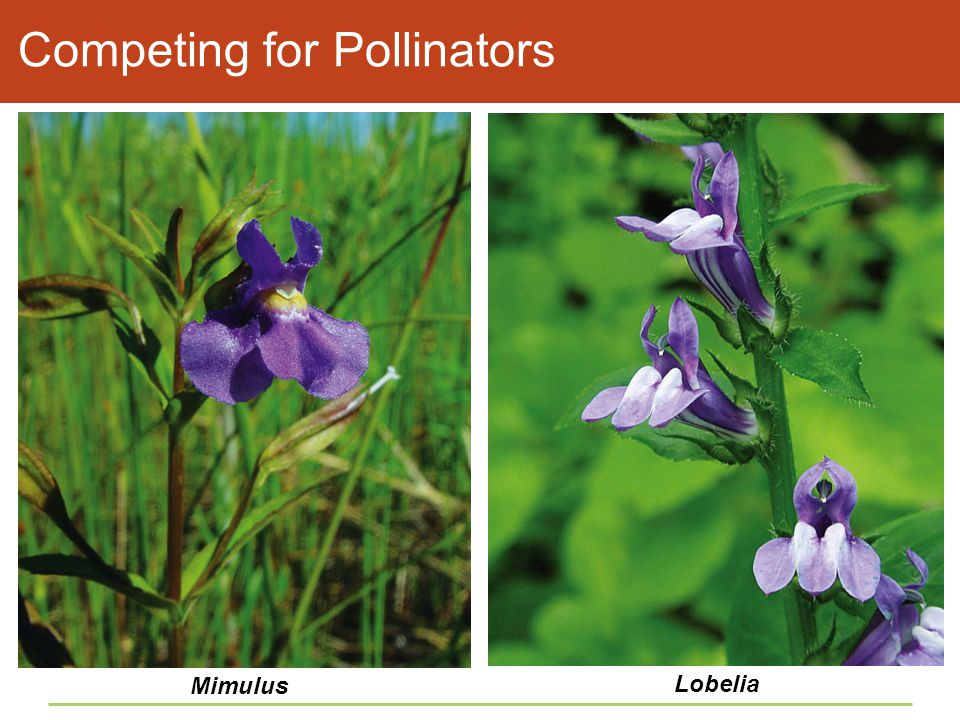 Competing for Pollinators