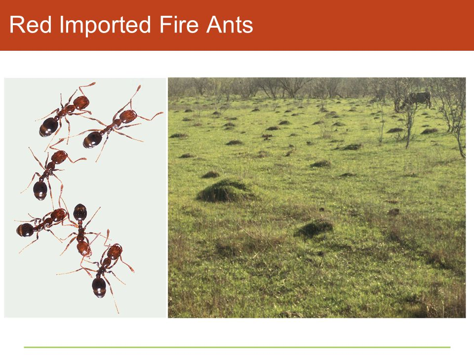 Red Imported Fire Ants Figure 45.1 Red imported fire ants.