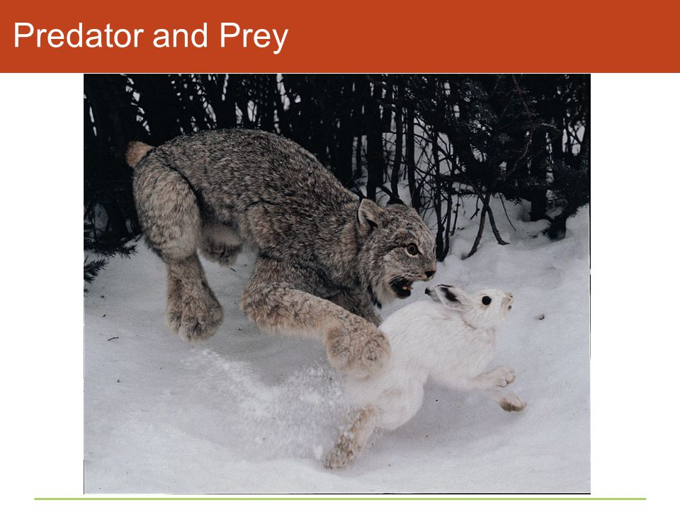Predator and Prey Figure 45.10 Population cycles in an arctic predator and its main prey.