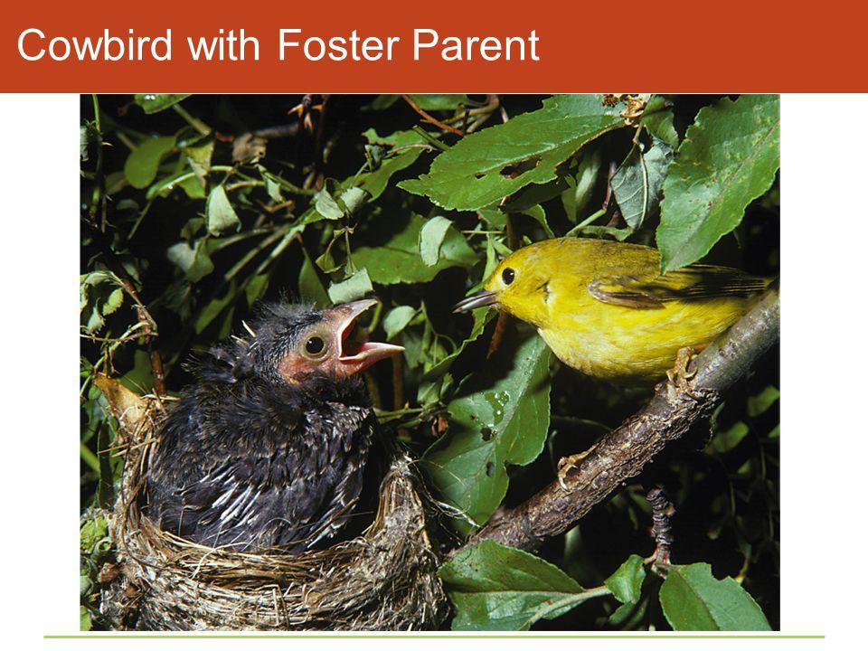 Cowbird with Foster Parent