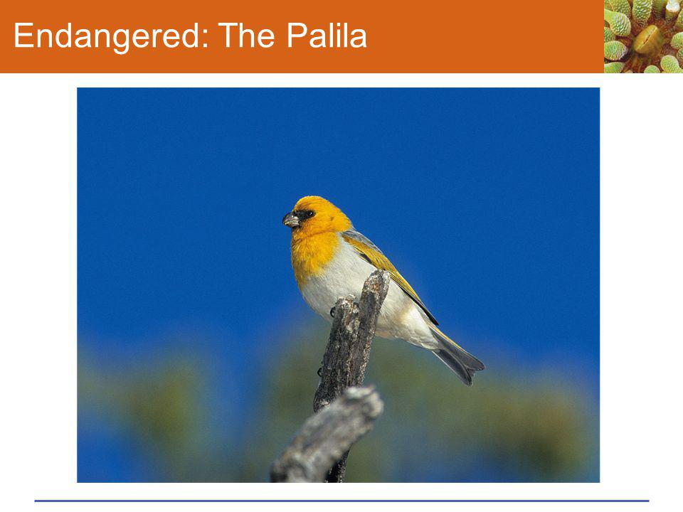Endangered: The Palila