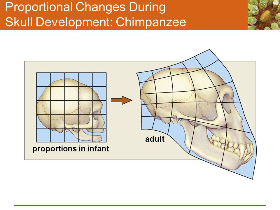 Proportional Changes During Skull Development: Chimpanzee